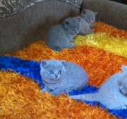 Британские плюшевые  котята